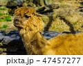 アルパカ 【動物】 47457277