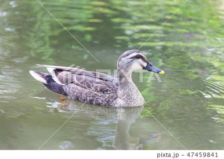 泳ぐ鴨 47459841