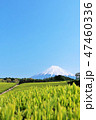 富士山 茶畑 茶葉の写真 47460336