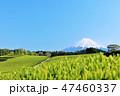 富士山 茶畑 茶葉の写真 47460337
