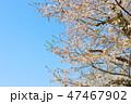 桜 開花 花の写真 47467902