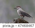 野鳥 鳥 動物の写真 47468467