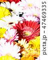 ガーベラ 花 植物の写真 47469335