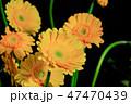 ガーベラ 花 植物の写真 47470439