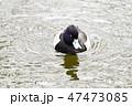 鳥 鴨 水鳥の写真 47473085