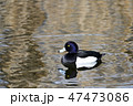鳥 鴨 水鳥の写真 47473086