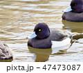 鳥 鴨 水鳥の写真 47473087