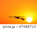 白鳥 鳥 飛ぶの写真 47486715