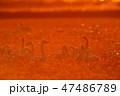 東庄 白鳥 鳥の写真 47486789
