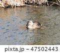 鳥 鴨 カルガモの写真 47502443