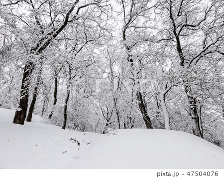 Winter trees with snow 47504076