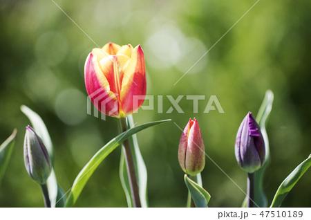 チューリップ 花 春の花 47510189