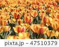 チューリップ 花 春の花の写真 47510379