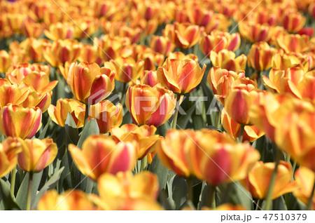 チューリップ 花 春の花 47510379