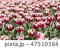 チューリップ 花 春の花の写真 47510384
