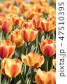 チューリップ 花 春の花の写真 47510395