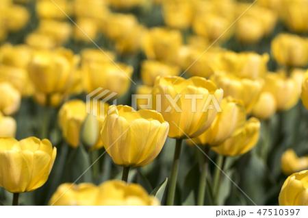 チューリップ 花 春の花 47510397