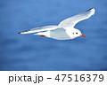 カモメ 飛ぶ ユリカモメの写真 47516379
