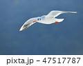 飛ぶ ユリカモメ カモメの写真 47517787