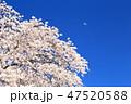 桜 植物 花の写真 47520588