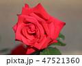 花 植物 薔薇の写真 47521360