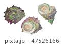 白バック 水彩 巻き貝のイラスト 47526166
