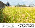 米 農作物 日本の写真 47527323