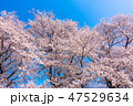 桜 春 ソメイヨシノの写真 47529634