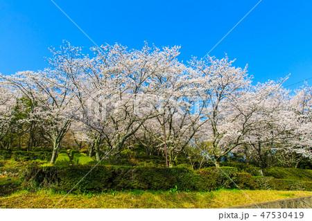 蟻尾山公園の桜 【佐賀県鹿島市】 47530419