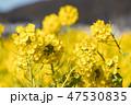 菜の花 春 花の写真 47530835