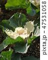 葉牡丹 花 植物の写真 47531058