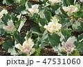 葉牡丹 植物 葉の写真 47531060