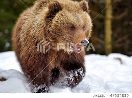 Wild brown bear on the snow in winter forest 47534830