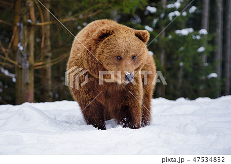 Wild brown bear (Ursus arctos) on the snow 47534832