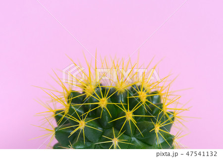 Cactus close-up on pink background 47541132
