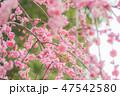 枝垂れ梅 梅 紅梅の写真 47542580