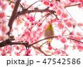 枝垂れ梅 梅 紅梅の写真 47542586