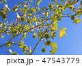 プラタナス 47543779