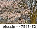 桜 染井吉野 花の写真 47548452