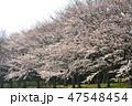 桜 染井吉野 花の写真 47548454