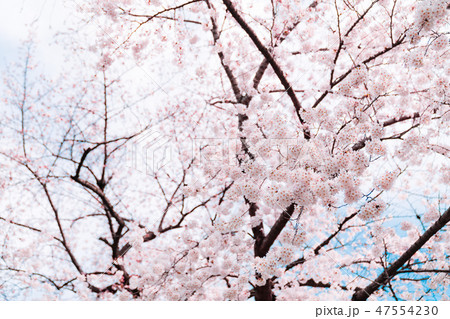 桜 47554230