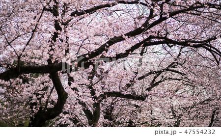 桜 47554232