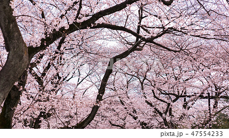 桜 47554233
