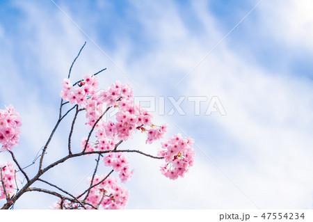 桜 47554234
