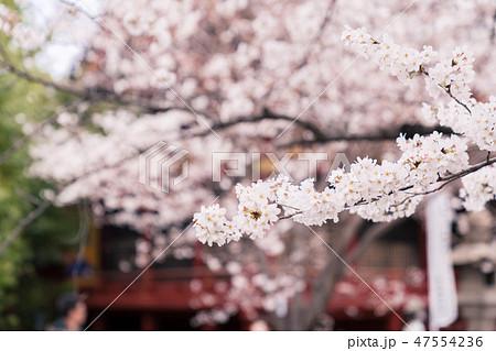 桜 47554236