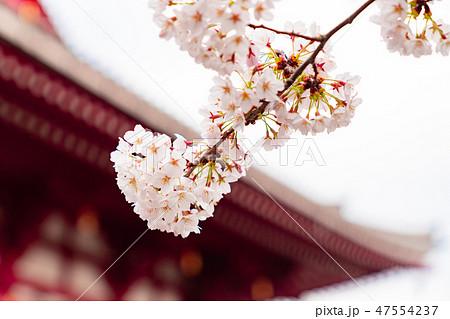 桜 47554237