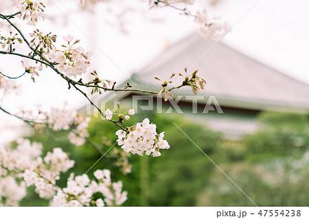 桜 47554238
