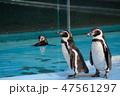 ペンギン 王子動物園 鳥類の写真 47561297