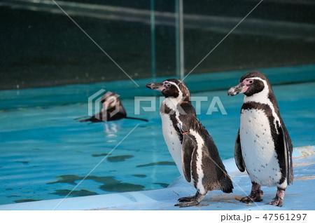 ペンギン 47561297