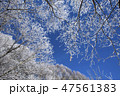聖高原 霧氷 雪の写真 47561383